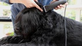 Έναρξη του καλλωπισμού του γιγαντιαίου μαύρου σκυλιού Schnauzer απόθεμα βίντεο