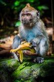 Ένας άγριος πίθηκος Easts μια μπανάνα στοκ εικόνες