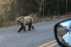 Ένας άλλος χρήστης του οδικού δικτύου - να εκπλήξει αντιμετωπίζει με έναν grizzlybear στην Αλάσκα στοκ φωτογραφία