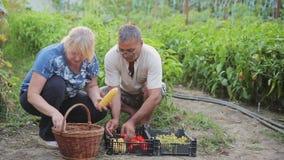 Ένας άνδρας και μια γυναίκα εργάζονται στο αγρόκτημά τους, συλλέγουν ένα ώριμο juicy φυσικό λαχανικό και το κλαδάκι φρούτων, δεν  φιλμ μικρού μήκους