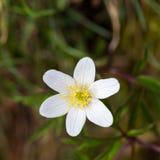 Ένας άσπρος ανθισμένος το nemorosa anemone λουλουδιών Στοκ εικόνα με δικαίωμα ελεύθερης χρήσης