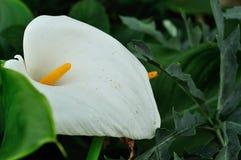 Ένας άσπρος κρίνος Arum Στοκ Εικόνες