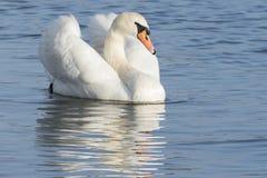 Ένας άσπρος κύκνος που επιπλέει ήρεμα στο νερό Στοκ Εικόνα