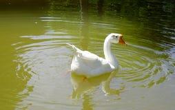 Ένας άσπρος κύκνος που κολυμπά στη λίμνη Στοκ εικόνες με δικαίωμα ελεύθερης χρήσης