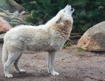 Ένας άσπρος λύκος καλεί το ουρλιαχτό στο δάσος στοκ φωτογραφίες