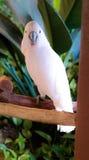 Ένας άσπρος παπαγάλος Στοκ φωτογραφίες με δικαίωμα ελεύθερης χρήσης