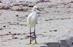 Άσπρος τσικνιάς σε μια παραλία στοκ εικόνες