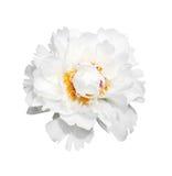 Ένας άσπρος peony Στοκ Φωτογραφίες