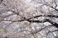 Ένας άφθονος του άνθους κερασιών στο Νάγκουα, Ιαπωνία στοκ εικόνα