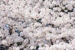 Ένας άφθονος του άνθους κερασιών στο Νάγκουα, Ιαπωνία στοκ φωτογραφίες με δικαίωμα ελεύθερης χρήσης