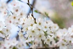 Ένας άφθονος του άνθους κερασιών στο Νάγκουα, Ιαπωνία στοκ εικόνες