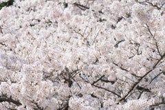 Ένας άφθονος του άνθους κερασιών στο Νάγκουα, Ιαπωνία στοκ φωτογραφία με δικαίωμα ελεύθερης χρήσης