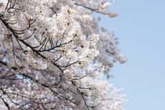 Ένας άφθονος του άνθους κερασιών στο Νάγκουα, Ιαπωνία στοκ εικόνα με δικαίωμα ελεύθερης χρήσης