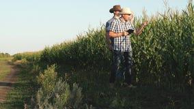 Ένας αγρότης, ένας γεωπόνος, πηγαίνει κατά μήκος του τομέα, επιθεωρεί τους ωριμάζοντας σπάδικες καλαμποκιού Οι επιχειρηματίες με  απόθεμα βίντεο