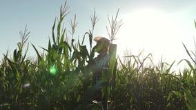 Ένας αγρότης, ένας γεωπόνος που εργάζεται στον τομέα, επιθεωρεί τους ωριμάζοντας σπάδικες καλαμποκιού Ένα επιχειρησιακό άτομο από απόθεμα βίντεο