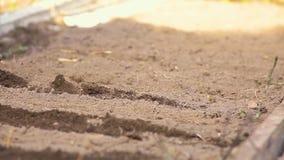 Ένας αγρότης γυναικών απασχολείται στο έδαφος με μια σκαπάνη απόθεμα βίντεο