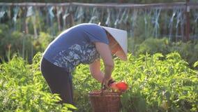 Ένας αγρότης γυναικών σε ένα καπέλο αχύρου φροντίζει τον κήπο, φορά ένα καλάθι με ένα pruner στον καρπό της, κόβει τον ώριμο απόθεμα βίντεο