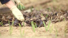 Ένας αγρότης γυναικών στο φυτικό κήπο καλλιέργησε το σκόρδο φιλμ μικρού μήκους