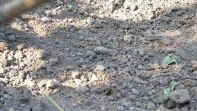 Ένας αγρότης ισοπεδώνει το έδαφος με μια τσουγκράνα στον κήπο ή τον τομέα απόθεμα βίντεο