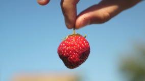 Ένας αγρότης παρουσιάζει κόκκινες φράουλες με ένα καλλιεργημένο σχέδιο ενάντια σε έναν μπλε ουρανό ο κηπουρός συλλέγει το ώριμο μ φιλμ μικρού μήκους