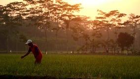 Ένας αγρότης στους τομείς ρυζιού απόθεμα βίντεο