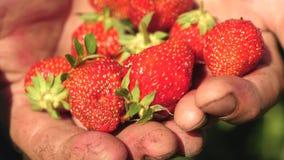 Ένας αγρότης στους φοίνικές του παρουσιάζει κόκκινη φράουλα με την κινηματογράφηση σε πρώτο πλάνο ο κηπουρός συλλέγει το ώριμο μο απόθεμα βίντεο
