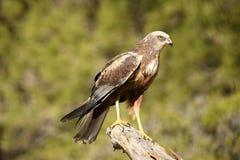 Ένας αετός καρακαξών στοκ φωτογραφία