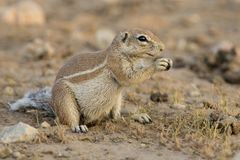 Ένας αλεσμένος σκίουρος που ψάχνει τα τρόφιμα στην ξηρά άμμο της Καλαχάρης Στοκ εικόνα με δικαίωμα ελεύθερης χρήσης