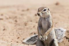 Ένας αλεσμένος σκίουρος που ψάχνει τα τρόφιμα στην ξηρά άμμο της Καλαχάρης Στοκ Φωτογραφίες