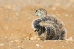 Ένας αλεσμένος σκίουρος που ψάχνει τα τρόφιμα στον ξηρό καλλιτέχνη άμμου της Καλαχάρης Στοκ εικόνες με δικαίωμα ελεύθερης χρήσης