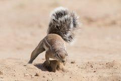 Ένας αλεσμένος σκίουρος που ψάχνει τα τρόφιμα στον ξηρό καλλιτέχνη άμμου της Καλαχάρης Στοκ εικόνα με δικαίωμα ελεύθερης χρήσης