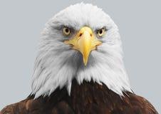 Ένας αμερικανικός φαλακρός αετός Στοκ εικόνα με δικαίωμα ελεύθερης χρήσης