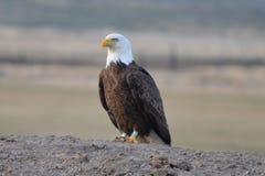Ένας αμερικανικός φαλακρός αετός στοκ εικόνα
