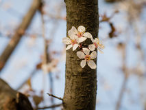 Ένας ανθίζοντας κλάδος του δέντρου σε έναν κορμό την άνοιξη Στοκ φωτογραφία με δικαίωμα ελεύθερης χρήσης