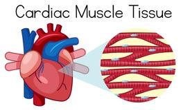 Ένας ανθρώπινος καρδιακός ιστός μυών απεικόνιση αποθεμάτων