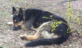 Ένας ανώτερος ύπνος σκυλιών αστυνομίας στον κήπο στοκ εικόνες