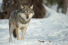 Ένας απομονωμένος λύκος Στοκ φωτογραφία με δικαίωμα ελεύθερης χρήσης