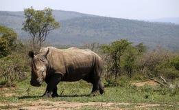 Ένας απόμερος άσπρος ρινόκερος στο NP, Αφρική στοκ φωτογραφίες με δικαίωμα ελεύθερης χρήσης