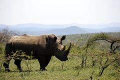 Ένας απόμερος άσπρος ρινόκερος στο NP, Αφρική στοκ εικόνες με δικαίωμα ελεύθερης χρήσης