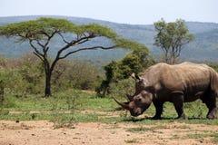 Ένας απόμερος άσπρος ρινόκερος στο NP, Αφρική στοκ εικόνες