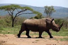 Ένας απόμερος άσπρος ρινόκερος στο NP, Αφρική στοκ φωτογραφίες