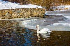 Ένας απόμερος κύκνος επιπλέει στο νερό μια σαφή, ηλιόλουστη χειμερινή ημέρα στοκ εικόνα με δικαίωμα ελεύθερης χρήσης