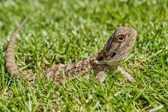 Ένας αρσενικός γενειοφόρος δράκος βρίσκεται στη χλόη μια ηλιόλουστη ημέρα στοκ εικόνες
