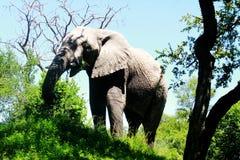 Ένας αρσενικός ελέφαντας σε ένα πάρκο στη Ζιμπάμπουε Στοκ φωτογραφία με δικαίωμα ελεύθερης χρήσης