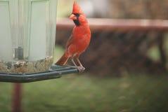 Ένας αρσενικός κόκκινος καρδινάλιος πουλιών σε έναν τροφοδότη στοκ φωτογραφία