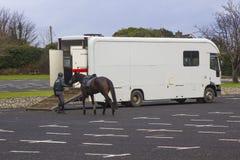 Ένας αρσενικός χειριστής αλόγων οδηγεί μια φοράδα yonng σε ένα μεγάλο άλογο σε έναν μεταφορέα μετά από μια οδοιπορία πρωινού στο  Στοκ Εικόνες