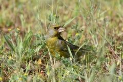 Ένας αρσενικός greenfinch κάθεται στο έδαφος στοκ εικόνες