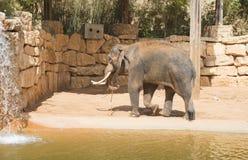 Ένας ασιατικός ελέφαντας στο ζωολογικό κήπο Στοκ Εικόνα