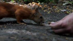 Ένας αστείος σκίουρος μυρίζει ένα καρύδι σε ένα χέρι Πλησιάζει αλλά το καρύδι κινείται πίσω απόθεμα βίντεο