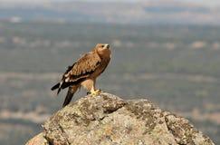 Ένας αυτοκρατορικός αετός Στοκ φωτογραφία με δικαίωμα ελεύθερης χρήσης